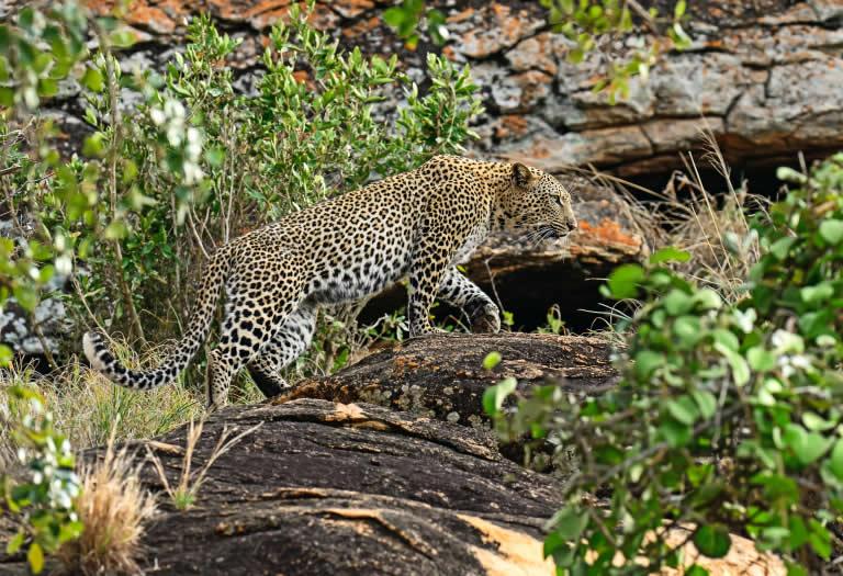 leopard-tsavo