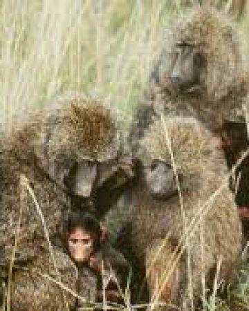 Baboon Walks
